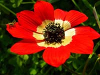 poppy icon
